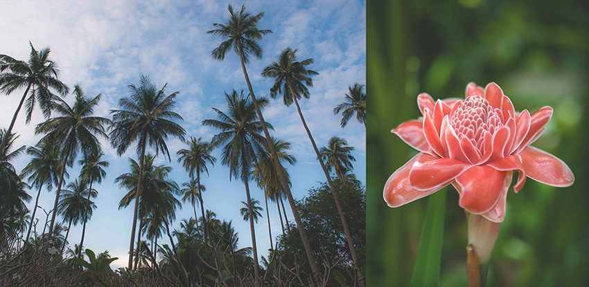 Left: Rayavadee was built in the grounds of an old coconut plantation. Right: Torch ginger is easily recognized by the bright pink-red color and wax-like appearance of its leaves.